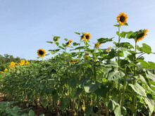 Long Row Of Tall Sunflowers In The Garden With A Blue Sky Behind, Horizontal
