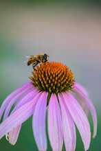 Bee On A Echinacea Flower. Pink Petals And Large Yellow Stamens Of Echinacea. Macro Photo. Yellow Pollen Of A Flower. A Bee Pollinates A Flower. Medicinal Flower In The Garden. Bee Body Texture