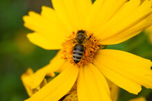 The Bee Collects Nectar In The Center Of Big Yellow Flower. Blurred Background.