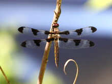 Female Common Whitetail Or Long-tailed Skimmer (Plathemis Lydia) In Wisconsin