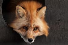 Red Fox In Captivity In A Zoo