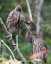 Black Crowned Night-heron Bird...