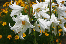 White Lilies In The Garden