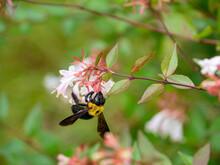 Japanese Carpenter Bee Is Sucking The Nectar Of Glossy Abelia In Fukuoka City, JAPAN.