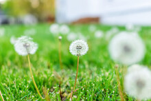 Low Angle Closeup Macro View Of Many White Fluffy Dandelion With Seeds Growing On Front Or Back Yard Lawn Grass By Home House In Spring
