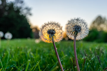 Ground level closeup macro view of two fluffy dandelion seeds on front or back yard lawn grass in spring with backlight of sun sunset and sky