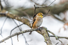 One Single American Gold Finch Closeup Of Goldfinch Bird Sitting Perched On Tree Branch During Winter In Virginia Looking
