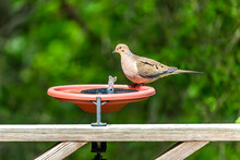 Mourning Dove One Bird On Wooden Railing Deck Or Porch Of House In Virginia Summer With Green Forest Foliage Background Bathing In Solar Water Fountain