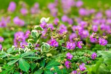 Green Leaves And Rock Crane's Bill Geranium Flowers In Summer Season Closeup Pattern Of Pink Wildflowers In Virginia