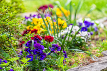 Closeup Of White Red Yellow And Purple Blue Pansy Flowers In Morning Outdoor Outside Garden With Green Leaves In Flowerbed
