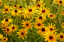 Black Eyed Susan Wildflowers Growing In A Beautiful Field In Golden Yellow Colors