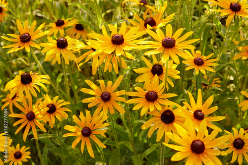 Valokuvatapetti Black eyed susan wildflowers growing in a beautiful field in golden yellow color