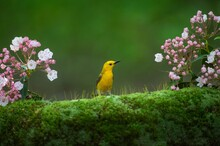 Tailor Bird With Pink Flower I...
