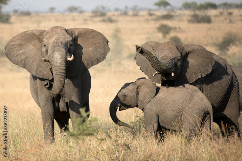 A herd of Elephants in the open plains of Tanzania.
