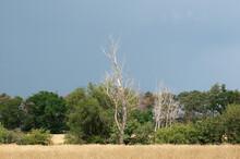 Vertrockneter Abgestorbener Baum Am Blauen Himmel