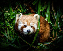 Eating Red Panda Portrait In T...
