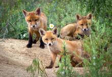 Cute Red Fox Babies Near Its Den.