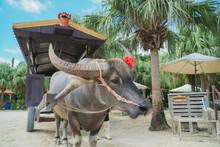 石垣島の水牛と水牛車