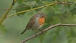 bird robin red breast in forest perched on branch side view fly away