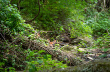 White-tailed Deer Fawn Looks Over Fallen Log At Camera In Idyllic Woodland Stream Setting. High Quality Photo In Natural Light. Full Frame With Copy Space. And Green Nature Background With Green Color