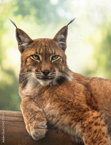 Foto Portrait of a Eurasian lynx that lies on a log.