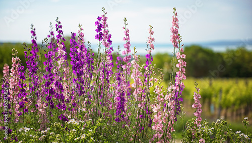 Beautiful purple digitalis or foxglove flowers in spring summer garden with blur Wallpaper Mural