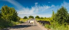 A Light Calf And Black Cows Cr...