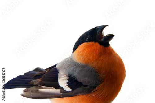 Fotografering The magnificent red Bullfinch (Snowbird, Pyrrhula pyrrhula, male) in spring breeding plumage is a favorite bird of people in the North of Europe