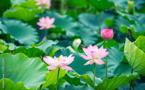 Obraz Beauty pink lotus or water lily is in closeup in lotus pond - fototapety do salonu