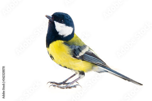 Photo titmouse bird on a white background, great tit, Parus major, oxeye close up, spring