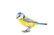 Blue Titmouse (Parus caeruleus) in flight. Isolated on a white background, close up