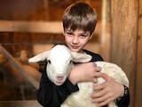 Little boy holding baby lamb in barn