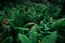 Fern Thickets In The Forest.