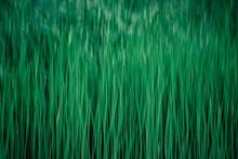 Blurred Grass Greens. Close-up...