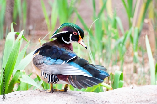 Fototapeta Closeup shot of a Wood duck standing in the greenery at daytime
