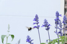 Purple Blue Salvia Flowers With A Large Bumble Bee