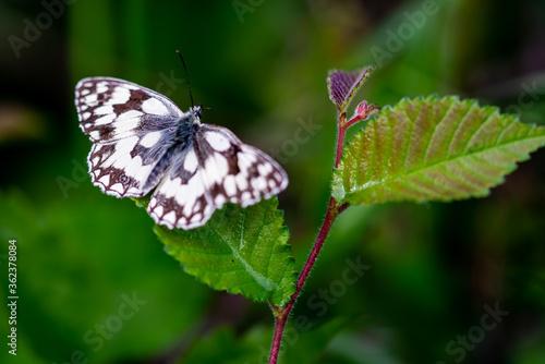 Photo Papillon blanc appelé Demi-deuil (Melanargia galathea), est une espèce de lépido