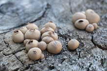 Lycoperdon Pyriforme. Spores Of Small Mushroom Close Up.