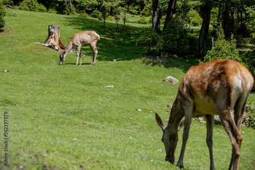 Deers grazing on meadow. Deer herd meadow grazing. Deer herd on deer farm. New born roe deer, wild spring nature.