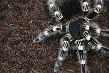 Big Spider Tarantula. Shaggy P...