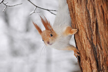 Squirrel Peeks Out From Behind...