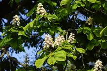 Flowering Horse-chestnut Or Co...