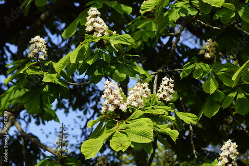 Photo Flowering horse-chestnut or conker tree (Aesculus hippocastanum) of the soapberry family (Sapindaceae) in spring in the Dutch village of Bergen