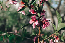 Peach Flowers Blooming In The Peach Grove In Spring. Blooming Branch Of The Fruit Tree.