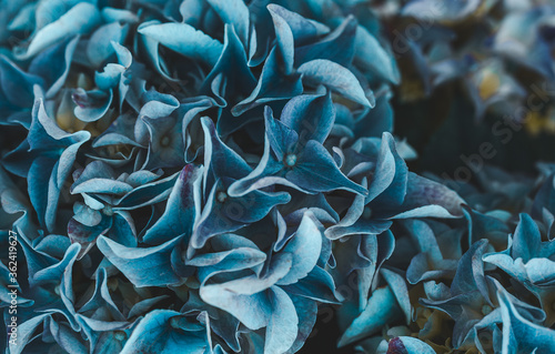 Blooming blue hydrangea close-up Fototapete