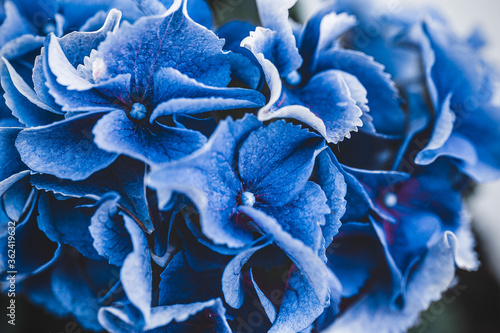 Obraz Blooming blue hydrangea close-up. Eeconnecting with nature. Cottagecore aesthetics. Plant photograph - fototapety do salonu