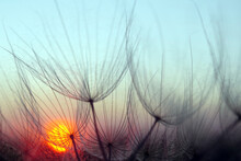 Sunset. Dandelion Seeds Close-...