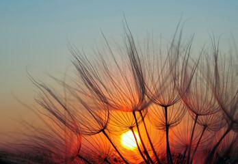Obraz na Szkle Dmuchawce sunset. dandelion seeds close-up on a sunset background. soft focus