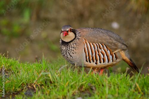 Carta da parati A red-legged partridge (Alectoris rufa)