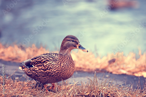 Photo ducks on a pond in autumn, wild birds, duck mallard